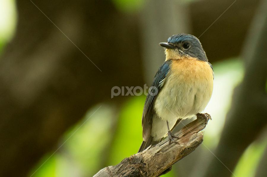 Tickell's Blue Flycatcher by Yasser Hussain - Animals Birds