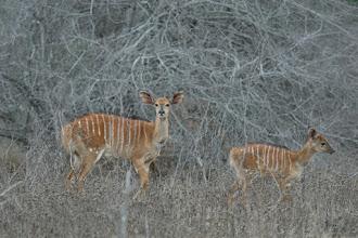 Photo: Mkhuze Game Reserve. Nyala's