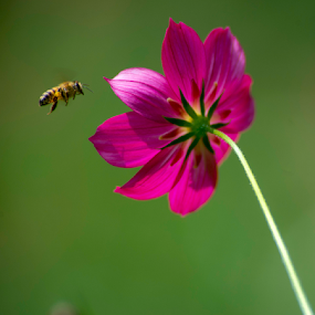 stop swinging, said the bee by Annette Flottwell - Flowers Flowers in the Wild ( tamron 300mm 2.8, bee, apis melifera, cosmos, sunny, abeja,  )