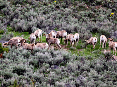 Herd of Bighorn Sheep in Yellowstone National Park