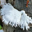 Split Gill fungus