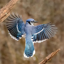 Blue Jay 201901289740 by Carl Albro - Animals Birds ( flight, bird in flight, blue jay, wings, bird, songbird, flying )