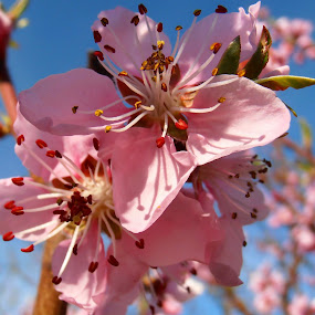 Peach blossom by Snezana Petrovic - Nature Up Close Flowers - 2011-2013 ( macro, nature, stamens, petals, colorful, garde, peach, pink, flowers, spring, blossom, soft,  )