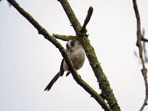 Photo: Middle Pool Long-tailed Tit with lichen that it will use to line its nest. (Ed Wilson)