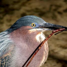 Green Heron by Debbie Quick - Animals Birds ( waterfowl, debbie quick, debs creativeimages, outdoors, nature, florida, green heron, bird, animal, heron, wild, wildlife )