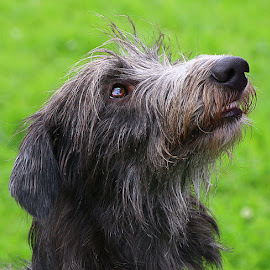 Please, Mum! by Chrissie Barrow - Animals - Dogs Portraits ( mouth, rough, long, bokeh, teeth, portrait, pleading, ear, pet, fur, grey, dog, lurcher, nose, coat, eye )
