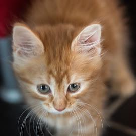 Pernille by Espen Rune Grimseid - Animals - Cats Kittens ( kitten, kittengirl, closeup, cat, aninal, portrait, canon )