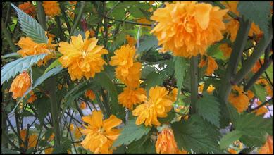 Photo: Trandafir Domnesc (Kerria Japonica peniflora) - de pe Str. Rapsodiei, Nr.14, spatiu verde - 2018.04.26