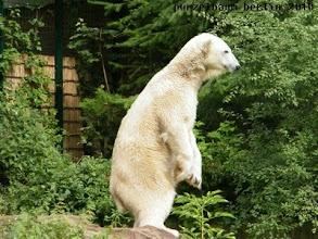 Photo: Knut schaut zu den Braunbaerinnen ;-)