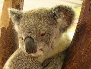 Photo: AUSTRALIE-Koala