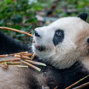 Chilled Out by Gary Tindale - Animals Other Mammals ( bear, bamboo, panda, china, animal,  )