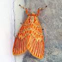 Barrow Moth