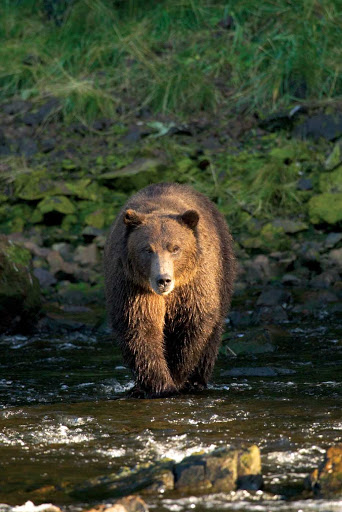 Lindblad-Expeditions-Alaska-Brown-Bear.jpg - A large brown bear wades into a stream in the Tongass National Forest in Alaska.