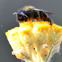 Mining bee; Abeja Cavadora