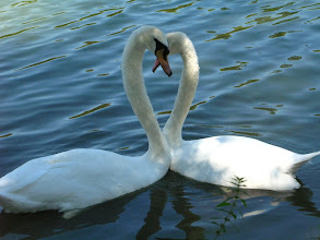 Photo: Swans make a perfect heart.  Photo by Carolyn Carty.