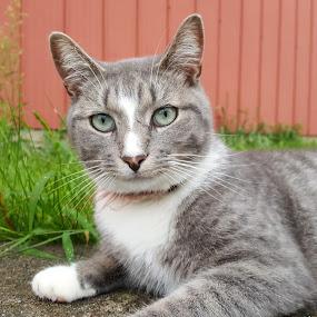 Shieva by Ingrid Bjork - Animals - Cats Portraits ( cats,  )