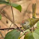 Tailorbird  -  Common Tailorbird