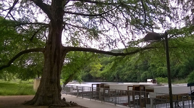 Photo: 300 year old cypress tree, glass bottom boats, Spring Lake, San Marcos