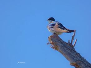Photo: Tree Swallow Tony Provenzano