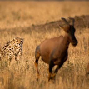 Cheetah chase Masai Mara Kenya by Ken Dyball - Animals Other ( chase run hunt fast kenya masai mara )