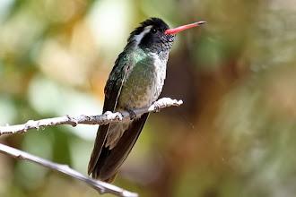 Photo: White-eared Hummingbird