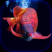 Arowana Fish HD LiveWallpaper