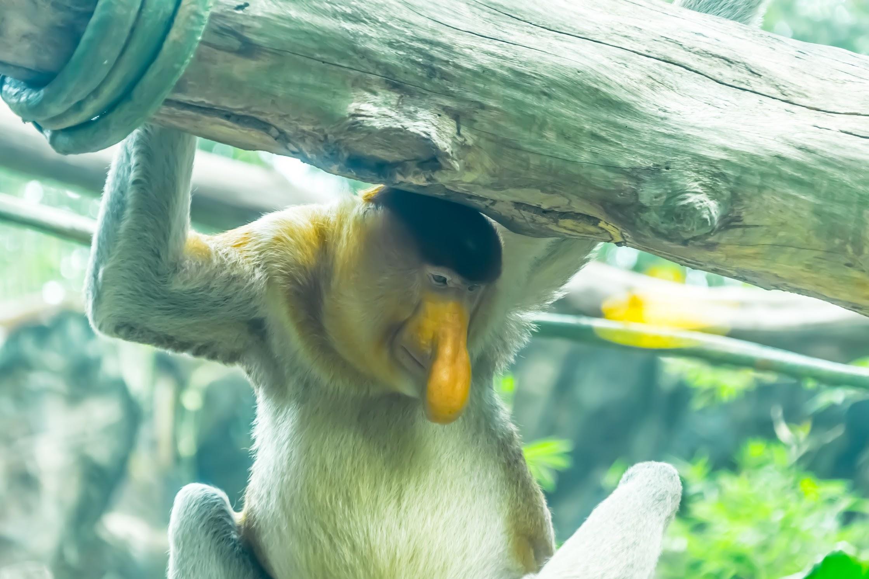 シンガポール動物園 テングザル
