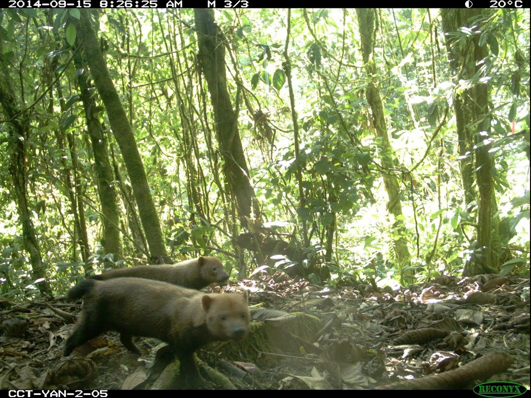 Bush dogs in Amazonian forests.