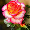Rose oh ma rose.jpg