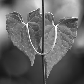ID: We are The Better Two by Shibalik Choudhury - Black & White Flowers & Plants ( black_and__white, plant, weather, vegetation, garden, leaf, wild, heart_shaped_leaf )