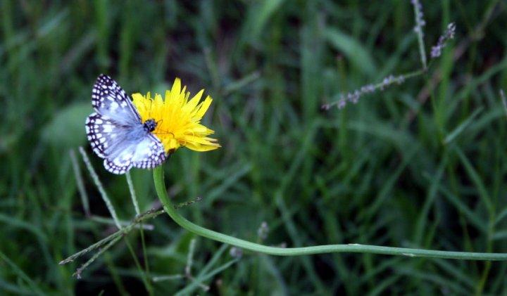 Mariposa di antopar