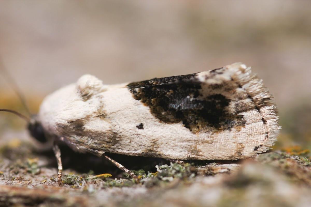 Small Bird Dropping Moth - 9095