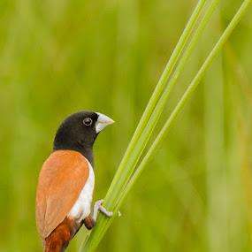    Tricolour Munia    by Indra Maji - Animals Birds