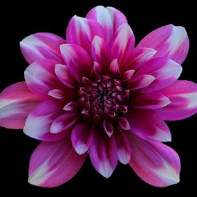 Lo Light click  by Ghazan Joyia - Flowers Single Flower (  )