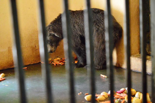 The bear had become paralysed in the hind legs and the decision was made to euthanase her.