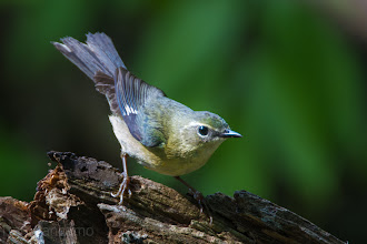 Photo: Black-throated Blue Warbler (female)  in Laffite's Cove