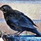 Common Black Bird (male juvenile)