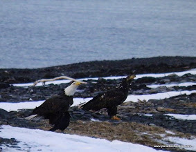Photo: These two Bald Eagles had quite a tussle, which came to full grappling on the ground; here they are posturing for dominance on the Homer Spit