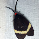 White-Banded Jewel