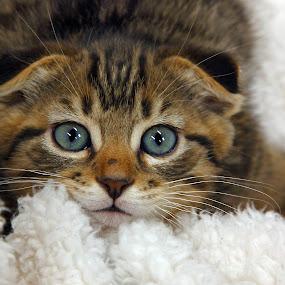 Sweet Baby by Pam Mullins - Animals - Cats Kittens ( love, cat, kitten, pet, kitty, mammal, soft,  )