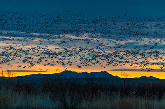 Photo: Before sunrise, snow geese flying in to join others already in the pond.