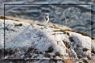 Photo: Sädesärla juv - Motacilla alba - white wagtail juv