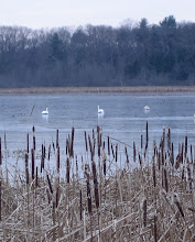 Photo: Swans on ice, 11.24