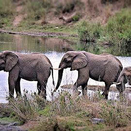 Elephants by Pieter J de Villiers - Animals Other