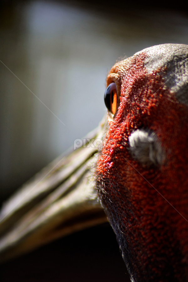 Sarus Crane | Birds | Animals !!! | Pixoto