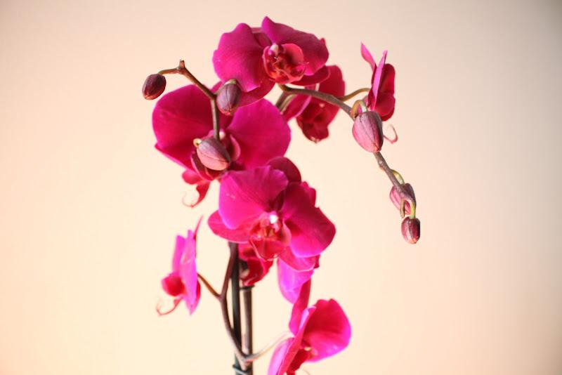 orchidea  di terazuc