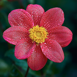 Dahlia 8676~ by Raphael RaCcoon - Flowers Single Flower
