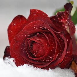 Red and white by Biljana Nikolic - Flowers Single Flower ( rose, red, winter, nature, beautiful, snow, flower )