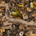 Ariramba-de-cauda-ruiva(Rufous-tailed Jacamar)