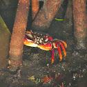 Goniopsis cruentata (Mangrove Root Crab)